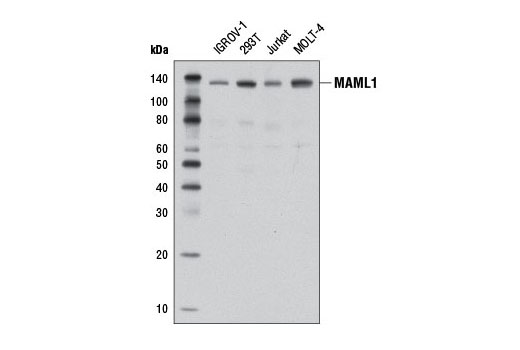 Western blot analysis of extracts from various cell lines using MAML1 (D3E9) Rabbit mAb.