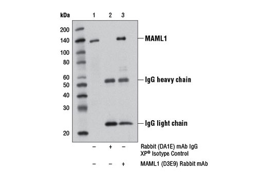 Immunoprecipitation of MAML1 protein from 293T cell extracts using Rabbit DA1E mAb IgG XP<sup>®</sup> Isotype Control #3900 (lane 2) or MAML1 (D3E9) Rabbit mAb (lane 3). Lane 1 is 10% input. Western blot analysis was performed using MAML1 (D3E9) Rabbit mAb.