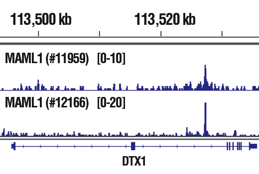 Chromatin immunoprecipitations were performed with cross-linked chromatin from CUTLL1 cells cultured in media with γ-secretase inhibitor (1 μM) for 3 days and then washed and cultured in fresh media for 3 hr and either MAML1 (D3E9) Rabbit mAb #11959 or MAML1 (D3K7B) Rabbit mAb, using SimpleChIP<sup>®</sup> Plus Enzymatic Chromatin IP Kit (Magnetic Beads) #9005. DNA Libraries were prepared using SimpleChIP<sup>®</sup> ChIP-seq DNA Library Prep Kit for Illumina<sup>®</sup> #56795. The figure shows binding across DTX1, a known target gene of MAML1 (see additional figure containing ChIP-qPCR data). For additional ChIP-seq tracks, please download the product data sheet.