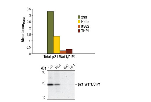 Figure 1: p21 Waf1/Cip1 protein from 293, HeLa, K562 and THP1 cells is detected by PathScan<sup>®</sup> Total p21 Waf1/Cip1 Sandwich ELISA Kit #7167. The levels of p21 Waf1/Cip1 protein measured using PathScan<sup>®</sup> Total p21 Waf1/Cip1 Sandwich ELISA Kit #7167 correlate with p21 Waf1/Cip1 protein levels detected by Western blot analysis. Absorbance<sub>450 nm</sub> is shown in the top figure, while the corresponding Western blot using p21 Waf1/Cip1 Antibody #2946, is shown in the bottom figure.