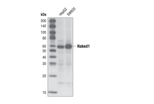 Western blot analysis of total cell lysates from HepG2 and SW620 cells using Naked1 (C30F10) Rabbit mAb.
