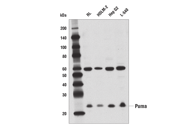 Western blot analysis of extracts from various cell lines using Puma (D30C10) Rabbit mAb.