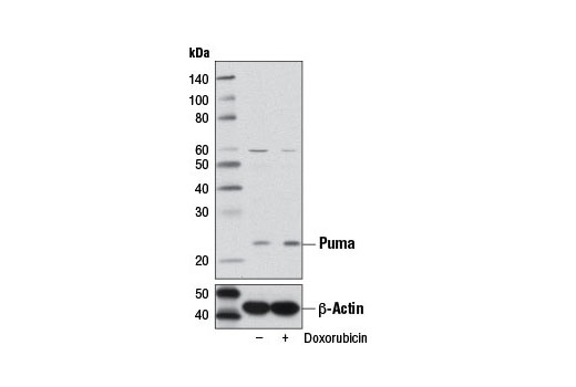 Western blot analysis of extracts from A549 cells, untreated (-) or treated with Doxorubicin #5927 (500 nM, overnight; +), using Puma (D30C10) Rabbit mAb (upper) or β-Actin (D6A8) Rabbit mAb #8457 (lower).