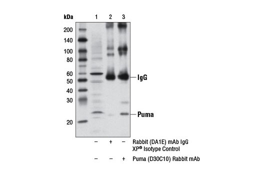 Immunoprecipitation of Puma from RL-7 cell extracts using Rabbit (DA1E) mAb IgG XP<sup>®</sup> Isotype Control #3900 (lane 2) or Puma (D30C10) Rabbit mAb (lane 3). Lane 1 is 10% input. Western blot analysis was performed using Puma (D30C10) Rabbit mAb.