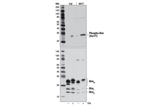 Western blot analysis of extracts from Raji and MCF7 cells, untreated (-) or treated with TPA #4174 (200 nM, 30 min; +), using Phospho-Bim (Ser77) (D4H12) Rabbit mAb (upper) or Bim (C34C5) Rabbit mAb #2933 (lower).