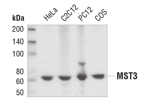 Western blot analysis of extracts from various cell lines using MST3 Antibody.