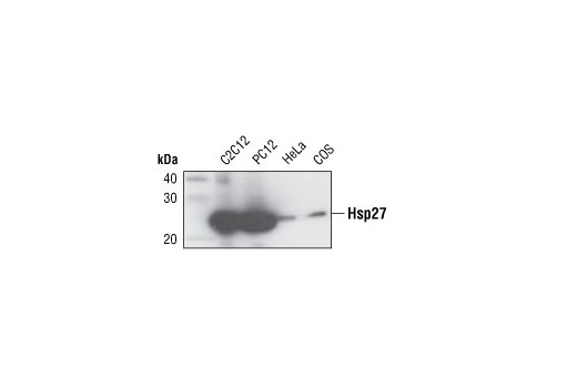 Western Blotting Image 1: HSP27 Antibody (Rodent Preferred)