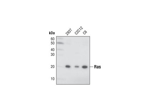 Western blot analysis of extracts from 293T, C2C12 and C6 cells using Ras (27H5) Rabbit mAb.