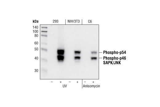 Western blot analysis of extracts from 293 cells, untreated or UV-treated, NIH/3T3 cells, untreated or UV-treated and C6 cells, untreated or anisomycin-treated, using Phospho-SAPK/JNK (Thr183/Tyr185) (81E11) Rabbit mAb.