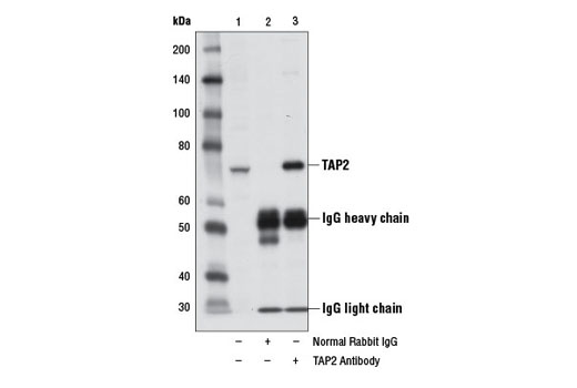 Polyclonal Antibody Western Blotting Tap-Dependent