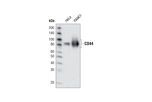 Western blot analysis of extracts from HeLa and PANC1 cell lines using CD44 (156-3C11) Mouse mAb.