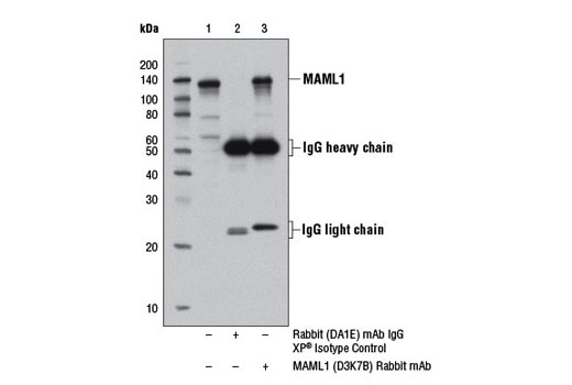 Immunoprecipitation of MAML1 protein from 293T cell extracts, using Rabbit (DA1E) mAb IgG XP<sup>®</sup> Isotype Control #3900 (lane 2) or MAML1 (D3K7B) Rabbit mAb (lane 3). Lane 1 is 10% input. Western blot analysis was performed using MAML1 Antibody #4608.