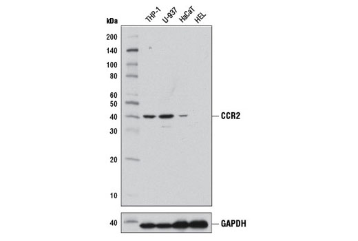 Monoclonal Antibody Immunoprecipitation T-Helper 1 Type Immune Response