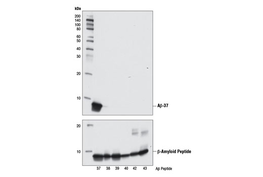 Western blot analysis of human Aβ-37, Aβ-38, Aβ-39, Aβ-40, Aβ-42, and Aβ-43 peptides (10 ng) using β-Amyloid (1-37 Specific) (D2A6H) Rabbit mAb (upper) or β-Amyloid (D54D2) XP<sup>®</sup> Rabbit mAb #8243 (lower).