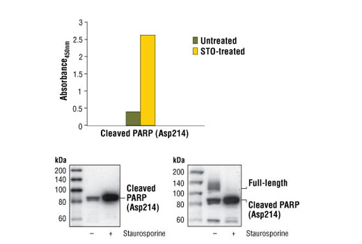 Figure 1: Treatment of HeLa cells with staurosporine stimulates cleavage of PARP at Asp214 as detected by PathScan<sup>®</sup> Cleaved PARP (Asp214) Sandwich ELISA Kit #7262. Absorbance at 450 nm is shown in the top figure, while the corresponding Western blot using Cleaved PARP (Asp214) Antibody #9548 (left panel) or PARP Antibody #9542 (right panel) is shown in the bottom figure. #9542 detects both full-length and cleaved PARP.