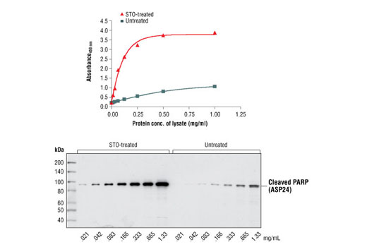 Figure 2: The relationship between protein concentration of lysates from untreated and staurosporine (STO) treated HeLa cells and the absorbance at 450 nm is shown. HeLa cells (80% confluent) were treated with staurosporine (1 µM) for 3 hours. Absorbance at 450 nm is shown in the top figure, while the corresponding Western blot using Cleaved PARP Antibody #9548 is shown in the bottom figure.