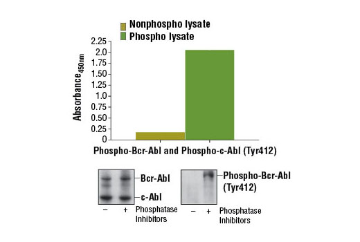 Figure 1. Constitutive phosphorylation of Bcr-Abl and c-Abl in K-562 cells lysed in the presence of phosphatase inhibitors* (phospho lysate) is detected by PathScan<sup>®</sup> Phospho-c-Abl (Tyr412) Sandwich ELISA Kit #12070. In contrast, a low level of phospho-Bcr-Abl and phospho-c-Abl protein is detected in K-562 cells lysed in the absence of phosphatase inhibitors* (nonphospho lysate). Absorbance at 450 nm is shown in the top figure while corresponding western blots using c-Abl Antibody #2862 (left panel) and Phospho-c-Abl (Tyr412) (247C7) Rabbit mAb #2865 (right panel) are shown in the bottom figure. *Phosphatase inhibitors include sodium pyrophosphate, β-glycerophosphate, and Na<sub>3</sub>VO<sub>4</sub>.