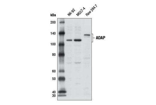 Polyclonal Antibody - ADAP Antibody - Western Blotting, UniProt ID O15117, Entrez ID 2533 #11957 - Immunology and Inflammation