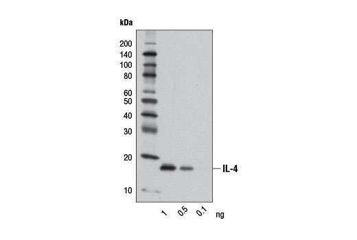 Western blot analysis of recombinant Human Interleukin-4 (hIL-4) #8919 using IL-4 (D19A10) Rabbit mAb.