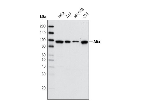 Western blot analysis of cell extracts from various cell types using Alix (3A9) Mouse mAb.