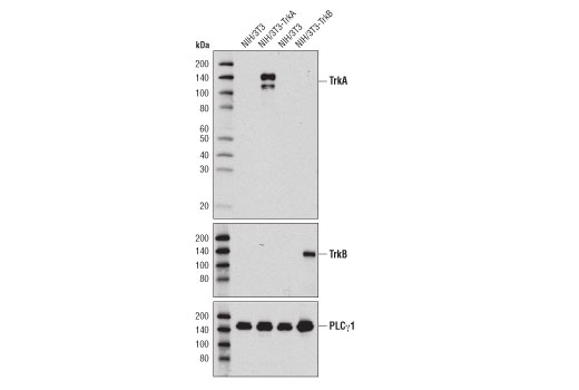 Western blot analysis of extracts from NIH/3T3, NIH/3T3-TrkA, and NIH/3T3-TrkB using TrkA (12G8) Rabbit mAb (upper) TrkB (80E3) Rabbit mAb Antibody #4603 (middle) and PLCγ1 (D9H10) XP® Rabbit mAb #5690 (lower).