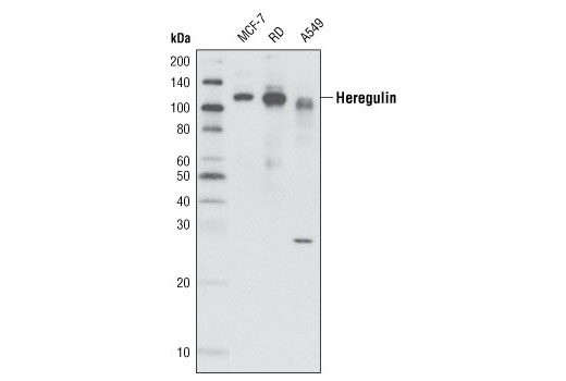 Western blot analysis of extracts from various cell lines using Heregulin Antibody.