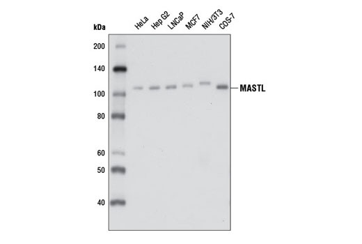 Western blot analysis of extracts from various cell lines using MASTL (D3J4Y) Rabbit mAb.