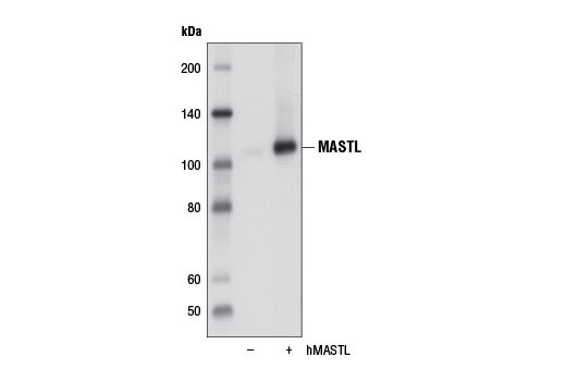 Western blot analysis of extracts from COS-7 cells, mock transfected (-) or transfected with a construct expressing human MASTL (hMASTL; +), using MASTL (D3J4Y) Rabbit mAb.