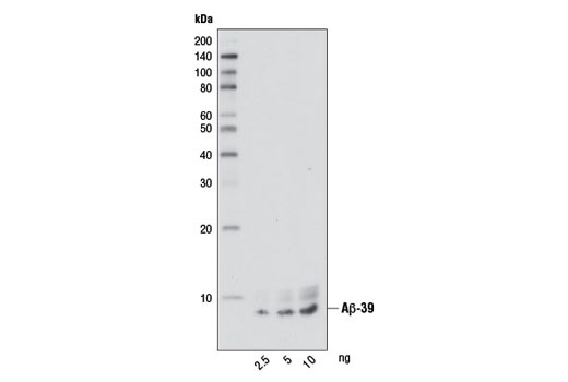 Western blot analysis of the indicated amounts of human Aβ-39 peptide using β-Amyloid (1-39 Specific) (D5Y9L) Rabbit mAb.