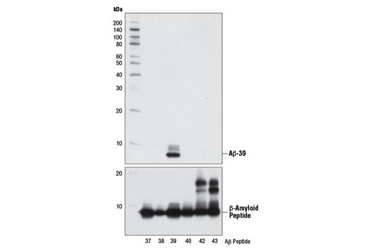 Western blot analysis of human Aβ-37, Aβ-38, Aβ-39, Aβ-40, Aβ-42, and Aβ-43 peptides (10 ng) using β-Amyloid (1-39 Specific) (D5Y9L) Rabbit mAb (upper) or β-Amyloid (D54D2) XP<sup>®</sup> Rabbit mAb #8243 (lower).