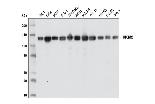Western blot analysis of extracts from various cell lines using MCM2 (1E7) Mouse mAb.
