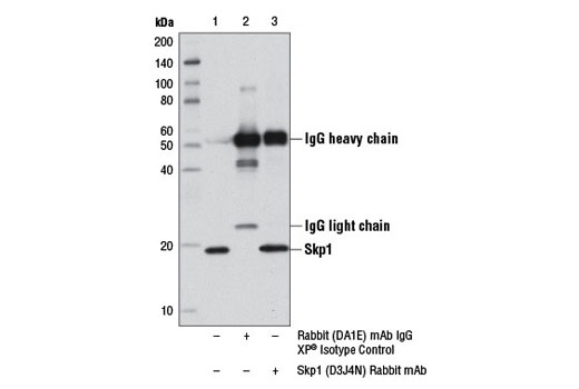 Immunoprecipitation of Skp1 from 293T cell extracts using Rabbit (DA1E) mAb IgG XP<sup>® </sup>Isotype Control #3900 (lane 2) or Skp1 (D3J4N) Rabbit mAb (lane 3). Lane 1 is 10% input. Western blot analysis was performed using Skp1 (D3J4N) Rabbit mAb.