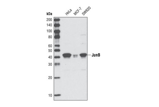 Western blot analysis of total cell lysates from HeLa, MCF-7 and SW620 cells using JunB (G53) Antibody.