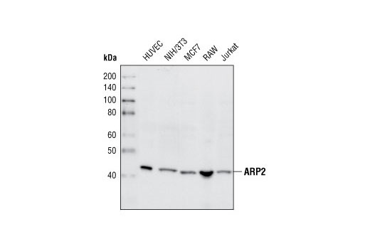 Western blot analysis of extracts from various cell types using ARP2 Antibody.