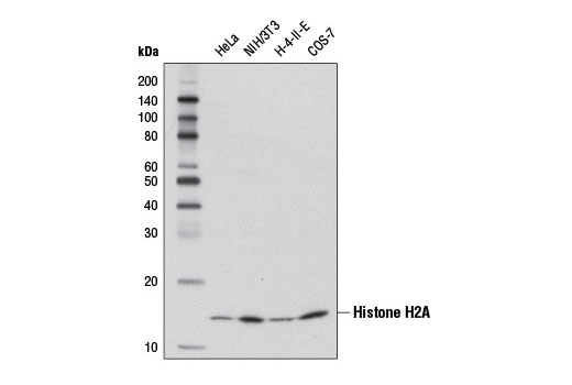 Western Blotting Image 5 - Acetyl-Histone Antibody Sampler Kit