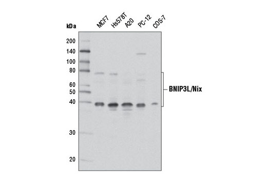 Western blot analysis of extracts from various cell lines using BNIP3L/Nix (D4R4B) Rabbit mAb.