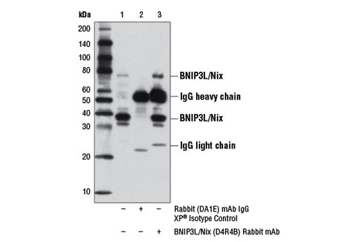 Immunoprecipitation Image 1: BNIP3L/Nix (D4R4B) Rabbit mAb