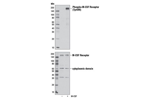 Western blot analysis of extracts from GDM1 cells, serum-starved overnight and untreated (-) or treated with Human Macrophage Colony Stimulating Factor (hM-CSF) #8929 (100 ng/ml, 10 min; +), using Phospho-M-CSF Receptor (Tyr699) (D10B11) Rabbit mAb (upper) or M-CSF Receptor Antibody #3152 (lower).
