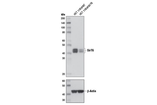 Western blot analysis of extracts from HCT 116 cells, expressing either non-targeting shRNA (shNT) or shSirT6, using SirT6 (D8D12) Rabbit mAb (upper) or β-Actin (D6A8) Rabbit mAb #8457 (lower).