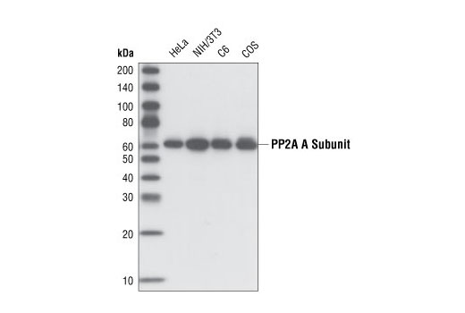 Western blot analysis of extracts from various cell lines using PP2A A Subunit (81G5) Rabbit mAb.