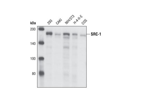Western blot analysis of cell extracts from various cell types using SRC-1 (128E7) Rabbit mAb.