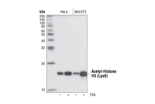 Western blot analysis of lysates from HeLa and NIH/3T3 cells, untreated or TSA-treated (400 nM for 18 hours) using Acetyl-Histone H3 (Lys9) (C5B11) Rabbit mAb.
