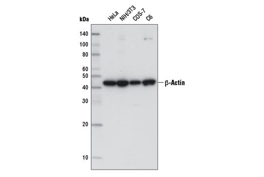 Western blot analysis of extracts from various cell lines using β-Actin (8H10D10) Mouse mAb (HRP Conjugate).