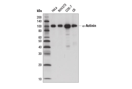 Western blot analysis of extracts from various cell lines using α-Actinin (D6F6) XP<sup>®</sup> Rabbit mAb (HRP Conjugate).