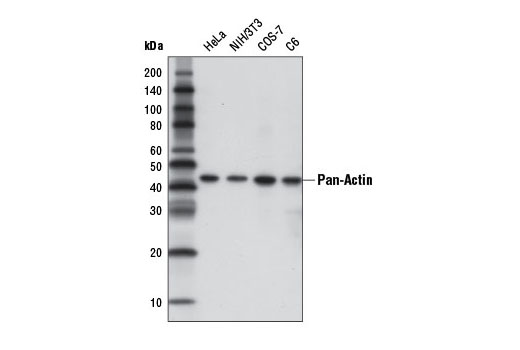 Western blot analysis of extracts from various cell lines using Pan-Actin (D18C11) Rabbit mAb (HRP Conjugate).