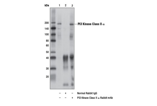 Immunoprecipitation of PI3 Kinase Class II α from HeLa cell extracts, using Normal Rabbit IgG #2729 (lane 2) or PI3 Kinase Class II α Rabbit mAb (lane 3). Lane 1 is 10% input. Western blot analysis was performed using PI3 Kinase Class II α (D3Q5B) Rabbit mAb.