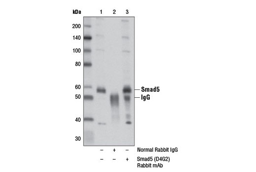 Immunoprecipitation of Smad5 from HT-1080 cell extracts using Normal Rabbit IgG #2729 (lane 2) or Smad5 (D4G2) Rabbit mAb (lane 3). Lane 1 is 10% input. Western blot analysis was performed using Smad5 (D4G2) Rabbit mAb.