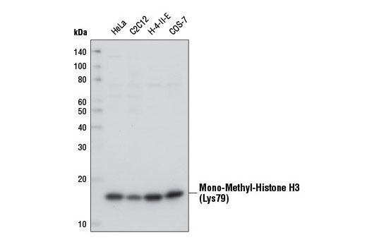 Western blot analysis of extracts from various cell lines using Mono-Methyl-Histone H3 (Lys79) (D5X1S) Rabbit mAb.