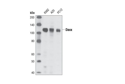 Western blot analysis of extracts from K562 (human), A20 (mouse) and PC12 (rat) cell lines using Daxx (25C12) Rabbit mAb.
