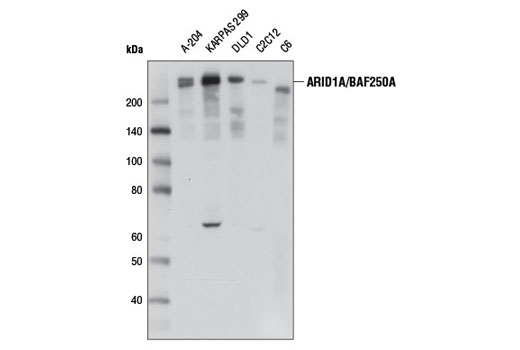 Western blot analysis of extracts from various cell lines using ARID1A/BAF250A (D2A8U) Rabbit mAb.